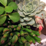 The succulents I picked to cast: an echiveria with bloom, gollum jade, and another jade (that came with the pot.)
